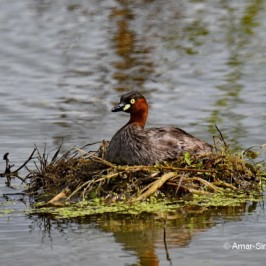 Large nesting site of Little Grebe