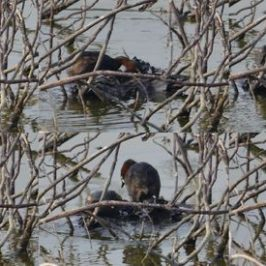 Little Grebe nesting in a barren pond