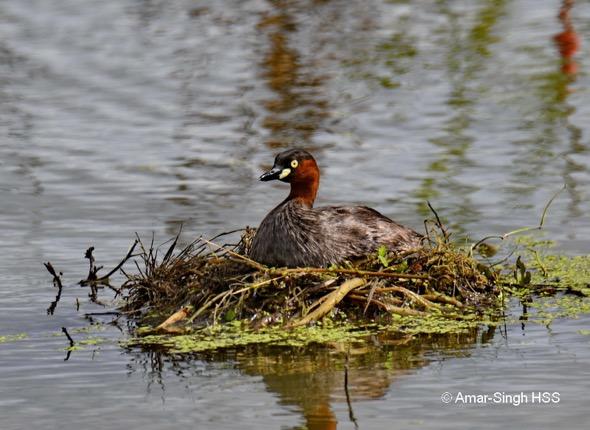 GrebeL-nest  [AmarSingh]