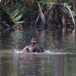 Little Grebe's Splashing Good Time