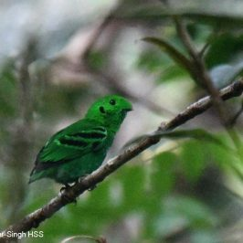 Green Broadbill – calls