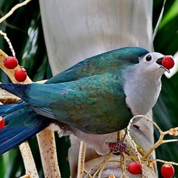 Nesting of the Green Imperial-pigeon