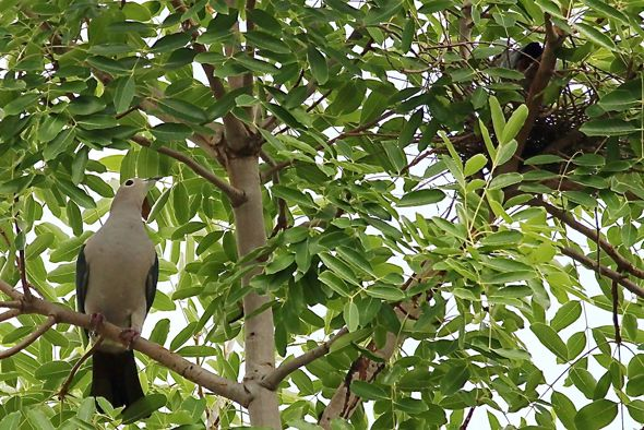 Green Imperial-pigeon: Another nesting record
