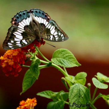 Story of the Green Baron butterfly