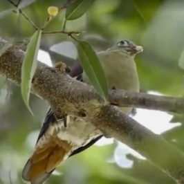 Thick-billed Green-pigeon: Tail movement