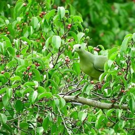 PINK-NECKED GREEN-PIGEONS FEEDING ON FIGS