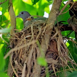 Pink-necked Green-pigeon uses abandoned munia's nest