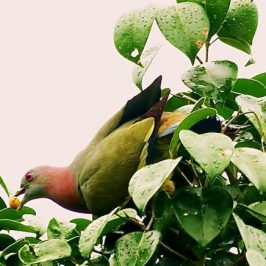Pink-necked Green-pigeon and a Ficus species