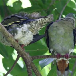 Thick-billed Green-pigeon preening