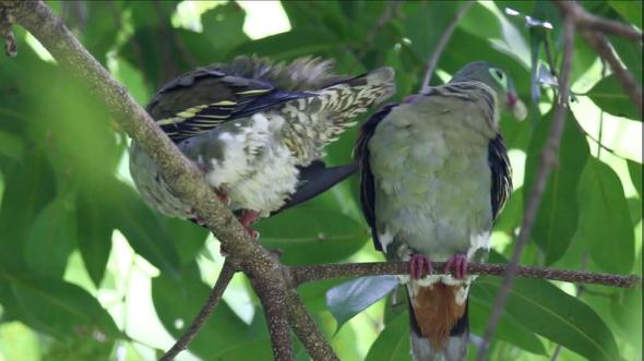 Thick-billed Green-pigeon preening