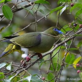 Birds feeding in a <em>Ficus benjamina </em> tree