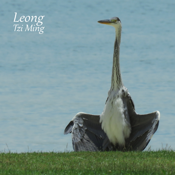 Grey Heron sunbathing