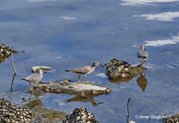 Three out of the five Grey-tailed Tattlers feeding