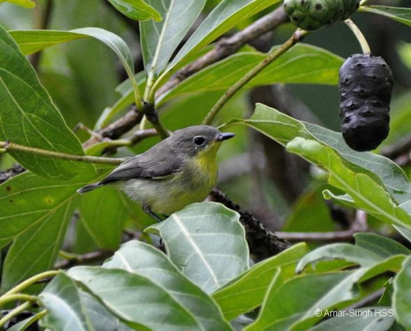 Song of the Golden-bellied Gerygone