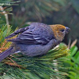 Pine Grosbeak <em>Pinicola enucleator sakhalinensis</em>