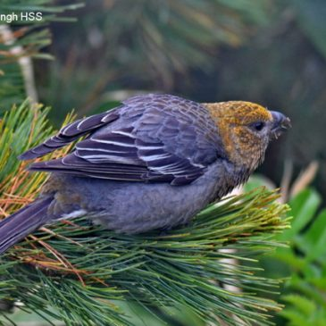 Pine Grosbeak Pinicola enucleator sakhalinensis