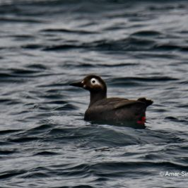 Spectacled Guillemot <em>Cepphus carbo</em>