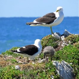 CHICK OF BLACK-BACKED GULL