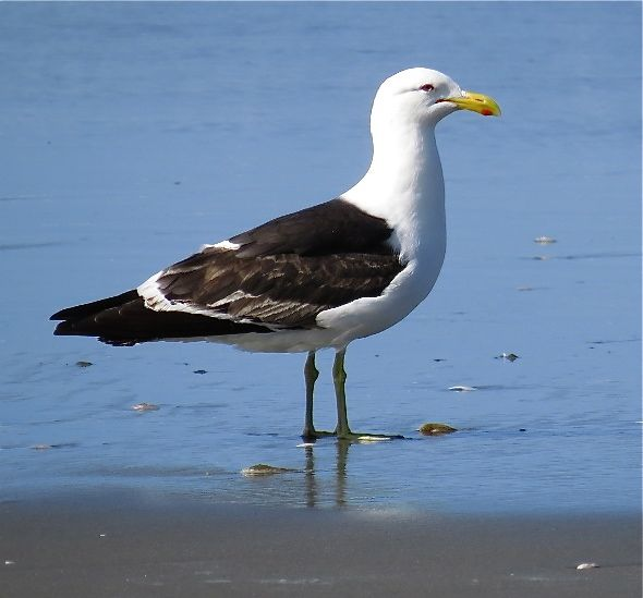 BLACK-BACKED GULL FEEDING on bivalves