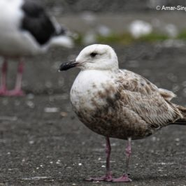 Slaty-backed Gull – younger birds