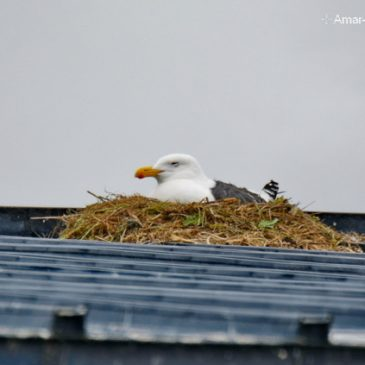 Slaty-backed Gull – nesting on man-made structures and conventional sites