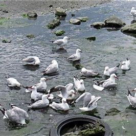 RED-BILLED GULLS BATHING
