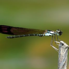 DAMSELFLIES OVIPOSITING AND MATING