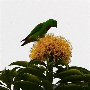 Blue-crowned Hanging-parrot eating leaf galls