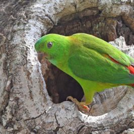 Blue-crowned Hanging-parrot at the nesting hole
