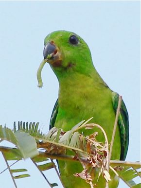 Blue-Crowned Hanging Parrots Foraging for Caterpillars
