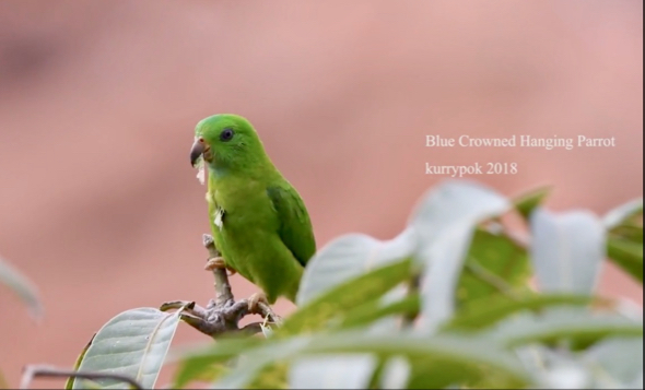 Blue-crowned Hanging-parrot tucking leaf pieces into its plumage