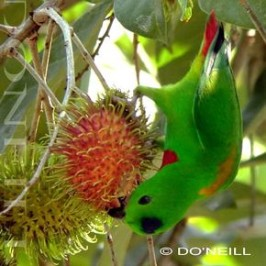 ©FRUITY RAMBUTAN & BLUE-CROWNED HANGING-PARROT