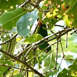 Blue-crowned Hanging-parrot taking flower bud from <em>Syzygium cumini</em>