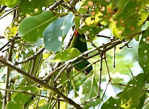 Blue-crowned Hanging-parrot taking flower bud from Syzygium cumini