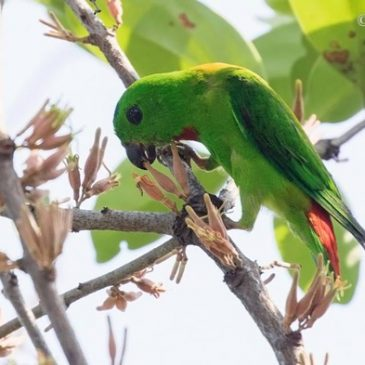 Blue-crowned Hanging-parrot and mistletoe flowers