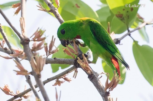 Blue-crowned Hanging Parrot, although listed as endangered, is relatively common (Photo credit: Loke Peng Fai)