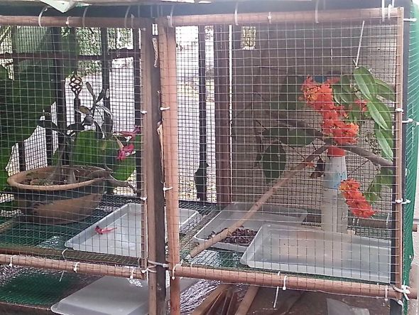 Feeding an injured Blue-crowned Hanging-parrot