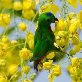 Blue-crowned Hanging-parrot eats flowers of Golden Shower