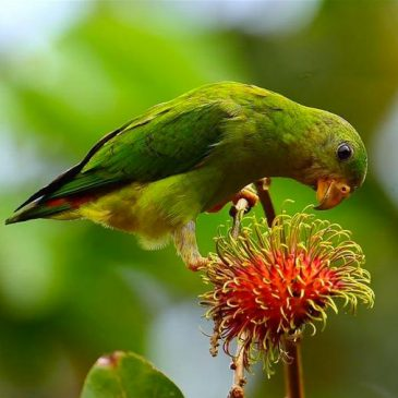 Birds and rambutan (Nephelium lappaceum) fruits