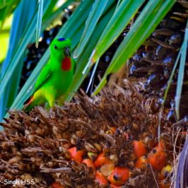 Blue-crowned Hanging Parrot and oil palm fruits
