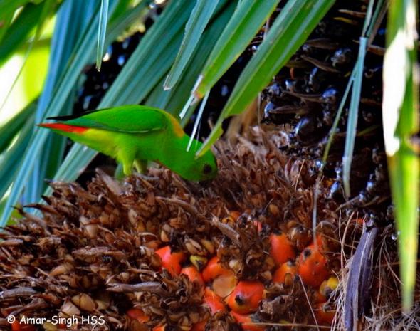 HangingParrotBlCroil palm [AmarSingh] 2