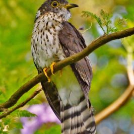 Juvenile Malaysian Hawk-cuckoo Eating Flower