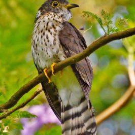 Juvenile Malaysian Hawk-cuckoo Eating Flower