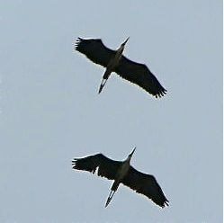 Herons fly past