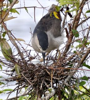 Black-crowned Night Heron: Breeding colony