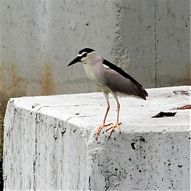 Interesting behaviour of Black-crowned Night Heron in Hong Kong