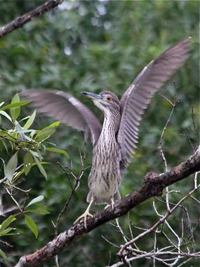 Antics of a juvenile Black-crowned Night Heron