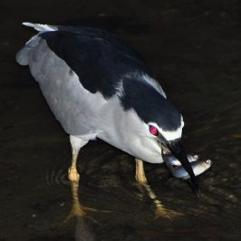 BLACK-CROWNED NIGHT HERON – DIVERSITY OF FISH PREY