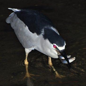 BLACK-CROWNED NIGHT HERON – DIVERSITY OF FISH PREY