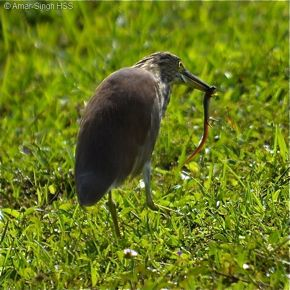 Chinese Pond Heron feeding on a skink
